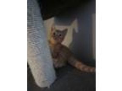 Adopt Cian a Orange or Red Tabby Domestic Shorthair (short coat) cat in