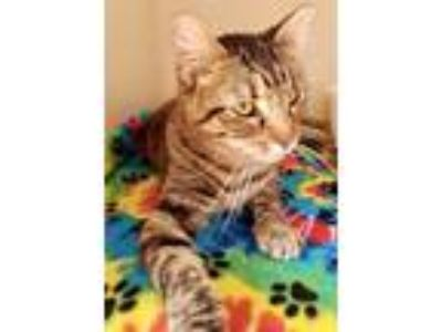 Adopt Brandi a Brown Tabby Domestic Shorthair / Mixed (short coat) cat in