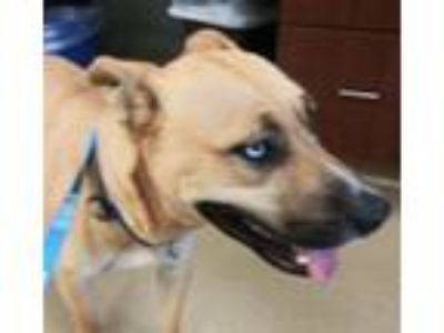 Adopt Ditzy a Pit Bull Terrier, German Shepherd Dog