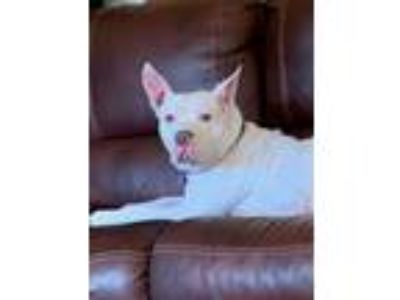 Adopt Taffy a Pit Bull Terrier