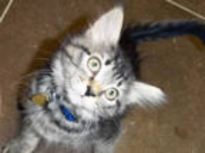 Adopt TOM a Gray, Blue or Silver Tabby Domestic Shorthair / Mixed (short coat)