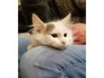 Adopt Charlie a White (Mostly) Domestic Mediumhair (medium coat) cat in Sioux