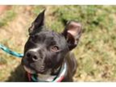 Adopt Lil Dude a Pit Bull Terrier