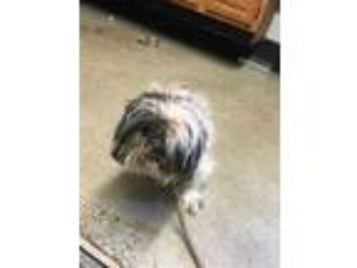 Adopt SHANGHAI a White - with Gray or Silver Shih Tzu / Mixed dog in Louisville