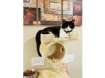 Adopt Oscar a Black & White or Tuxedo Domestic Shorthair / Mixed cat in