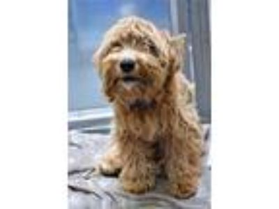 Adopt Hs231239 a Terrier, Poodle