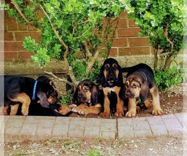 Bloodhound PUPPY FOR SALE ADN-127511 - Purebred Bloodhound puppies
