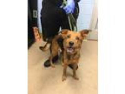 Adopt Penny a Brown/Chocolate Mixed Breed (Medium) / Mixed dog in Chamblee