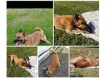 Adopt Scooby a Tan/Yellow/Fawn Belgian Malinois / German Shepherd Dog dog in