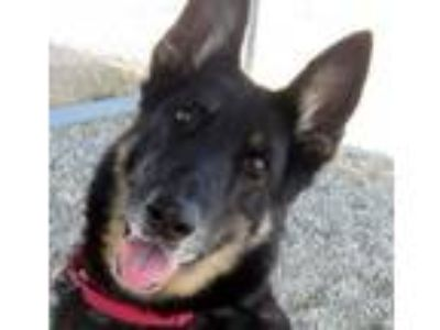 Adopt Cassy a German Shepherd Dog