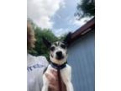 Adopt Timon a Rat Terrier