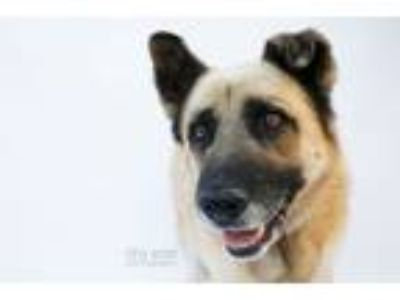 Adopt Lobo a German Shepherd Dog, Labrador Retriever