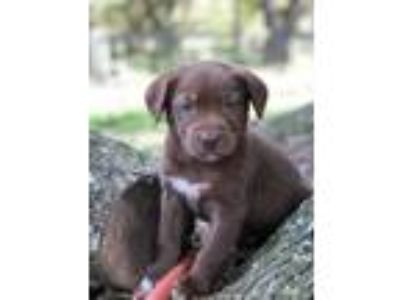 Adopt Cocoa a Brown/Chocolate Labrador Retriever / Golden Retriever / Mixed dog