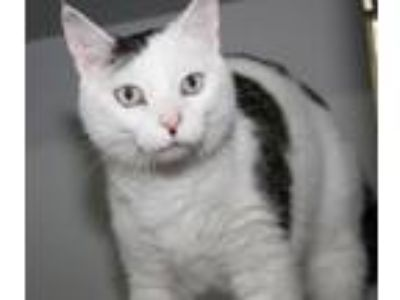 Adopt Tommie Girl (Declawed) a Domestic Short Hair
