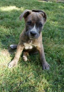 Cane Corso PUPPY FOR SALE ADN-78812 - 3 Sweet Corso Puppies Left