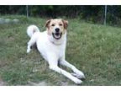 Adopt Brandon a Great Pyrenees, Collie