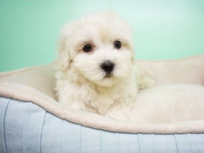 Maltipoo Puppy – Male- Mochi ($1,399)