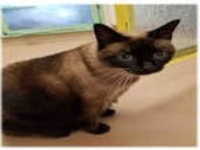 Adopt TUFFY a Brown or Chocolate Siamese / Mixed (short coat) cat in Plano