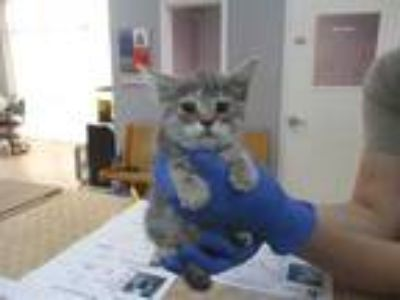 Adopt *SWEET PEA a Gray, Blue or Silver Tabby Domestic Shorthair / Mixed (short