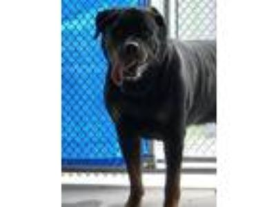 Adopt Maximus a Rottweiler / Mixed dog in Lawrenceville, NJ (25872162)