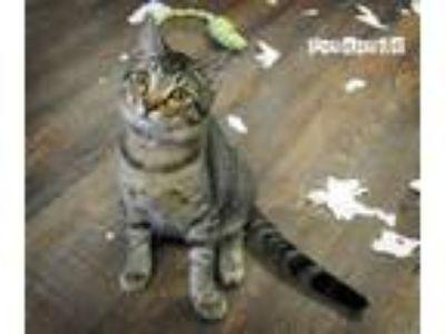 Adopt FANDANGO a Gray, Blue or Silver Tabby Domestic Shorthair (short coat) cat