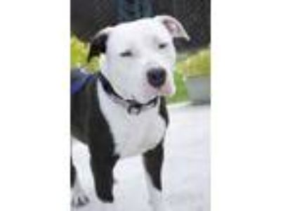 Adopt Dillon a White American Pit Bull Terrier / Mixed dog in Sanger