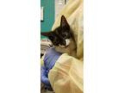 Adopt Penelope a All Black Domestic Shorthair / Domestic Shorthair / Mixed cat