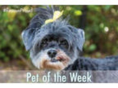 Adopt ROXY a Black - with Brown, Red, Golden, Orange or Chestnut Shih Tzu /
