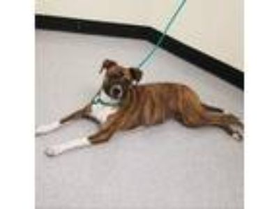 Adopt Doc 19-05-127 a Brindle Terrier (Unknown Type, Small) / Boxer dog in