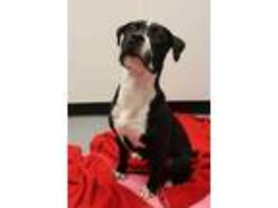 Adopt Gino a Black American Pit Bull Terrier / Mixed dog in Bowling Green