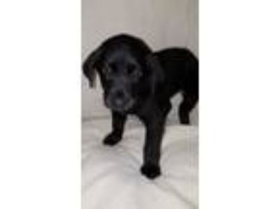 Adopt Holly a Labrador Retriever