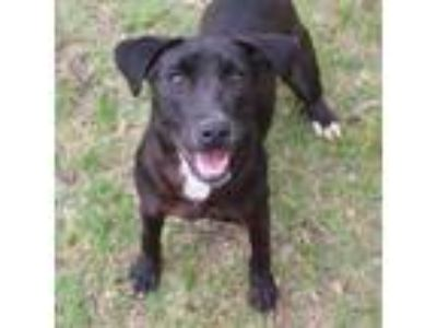 Adopt Abby *MEET ME AT AA!* a Brown/Chocolate - with White Labrador Retriever /