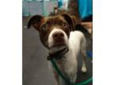 Adopt Rocket a Pointer, Jack Russell Terrier