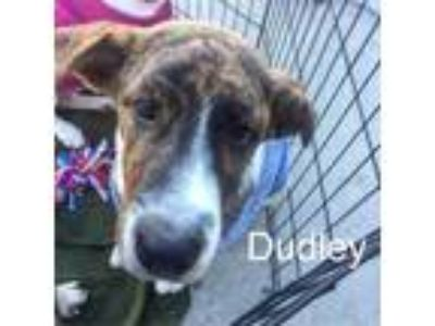 Adopt Dudley a Border Collie, Pit Bull Terrier