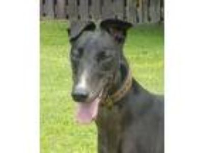 Adopt GEE WHIZ (Prison Trained) a Greyhound