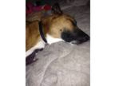 Adopt Chester a Red/Golden/Orange/Chestnut German Shepherd Dog / Greyhound /