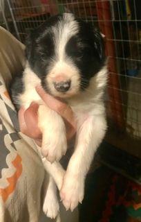 Border Collie PUPPY FOR SALE ADN-70939 - Border Collie Puppies