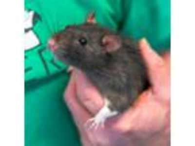Adopt Peter Pettigrew a Rat small animal in Golden, CO (25228968)