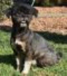 Haystack Shih Tzu - Lhasa Apso Dog