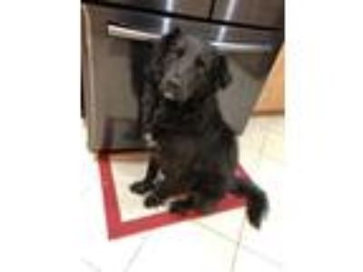 Adopt Pan a Black - with White Flat-Coated Retriever / Mixed dog in San Antonio