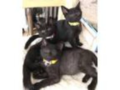 Adopt Winnie Shosh Kiddo and Lamb: 4 Amazing Wee Bombay a Domestic Short Hair