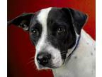 Adopt Jean a Pit Bull Terrier