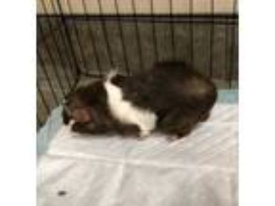 Adopt Frankie a Brown or Chocolate Guinea Pig / Mixed small animal in Dubuque
