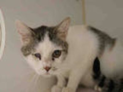 Adopt KENDAL a White (Mostly) Domestic Shorthair / Mixed (short coat) cat in