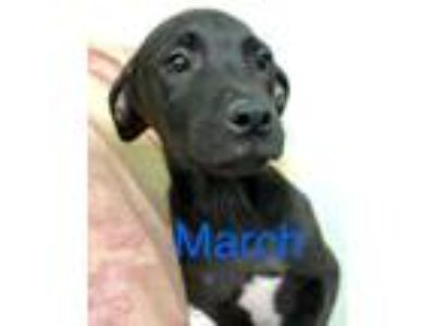 Adopt March a Labrador Retriever