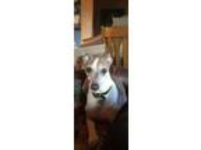 Adopt Chance a Italian Greyhound