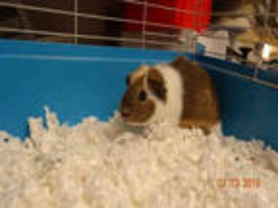Adopt CRYSTAL a Brown or Chocolate Guinea Pig / Mixed small animal in Van Nuys