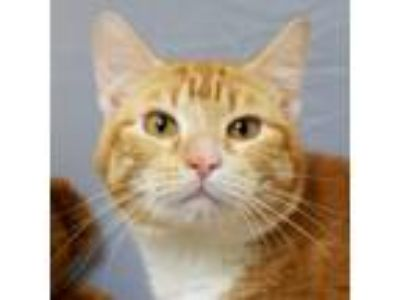 Adopt Carlos a Domestic Short Hair, Tabby