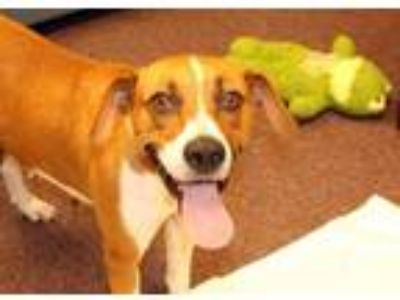 Adopt Dixie-Bell a Foxhound, Labrador Retriever