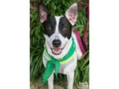 Adopt Dory a Brindle - with White Shepherd (Unknown Type) / Pointer / Mixed dog